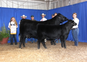 Q V S Georgina 4142 won reserve grand champion cow-calf pair at the 2014 Tennessee State Fair Roll of Victory (ROV) Angus Show, Sept. 7 in Nashville, Tenn. Jake Smith, Cullman, Ala., owns the February 2012 daughter of S A V Brave 8320. A February 2014 daughter sired by S A V Bismarck 5682 is at side. Kevin Rooker, Uniontown, Pa., evaluated the 130 entries. Photo by Alex Tolbert, American Angus Association.