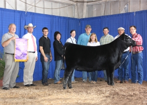 Champion Hill Georgina 8547 won grand champion female at the 2014 Tennessee State Fair Roll of Victory (ROV) Angus Show, Sept. 7 in Nashville, Tenn. David Smith, Boulder, Colo., owns the November 2013 daughter of S A V Angus Valley 1867. She earlier won senior calf champion. Kevin Rooker, Uniontown, Pa., evaluated the 130 entries. Photo by Alex Tolbert, American Angus Association.