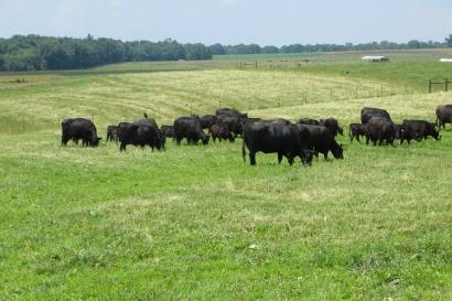 Cattle Grazing web