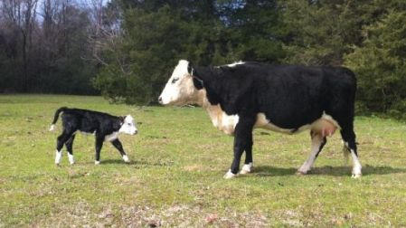 black_hereford_cattle_breed_1_635890562364816000