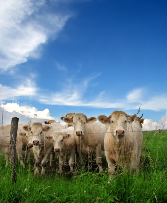 bigstock-cattle-in-a-grass-field-12154154